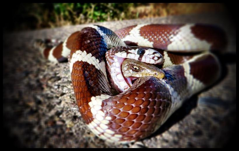 California King Snake photo
